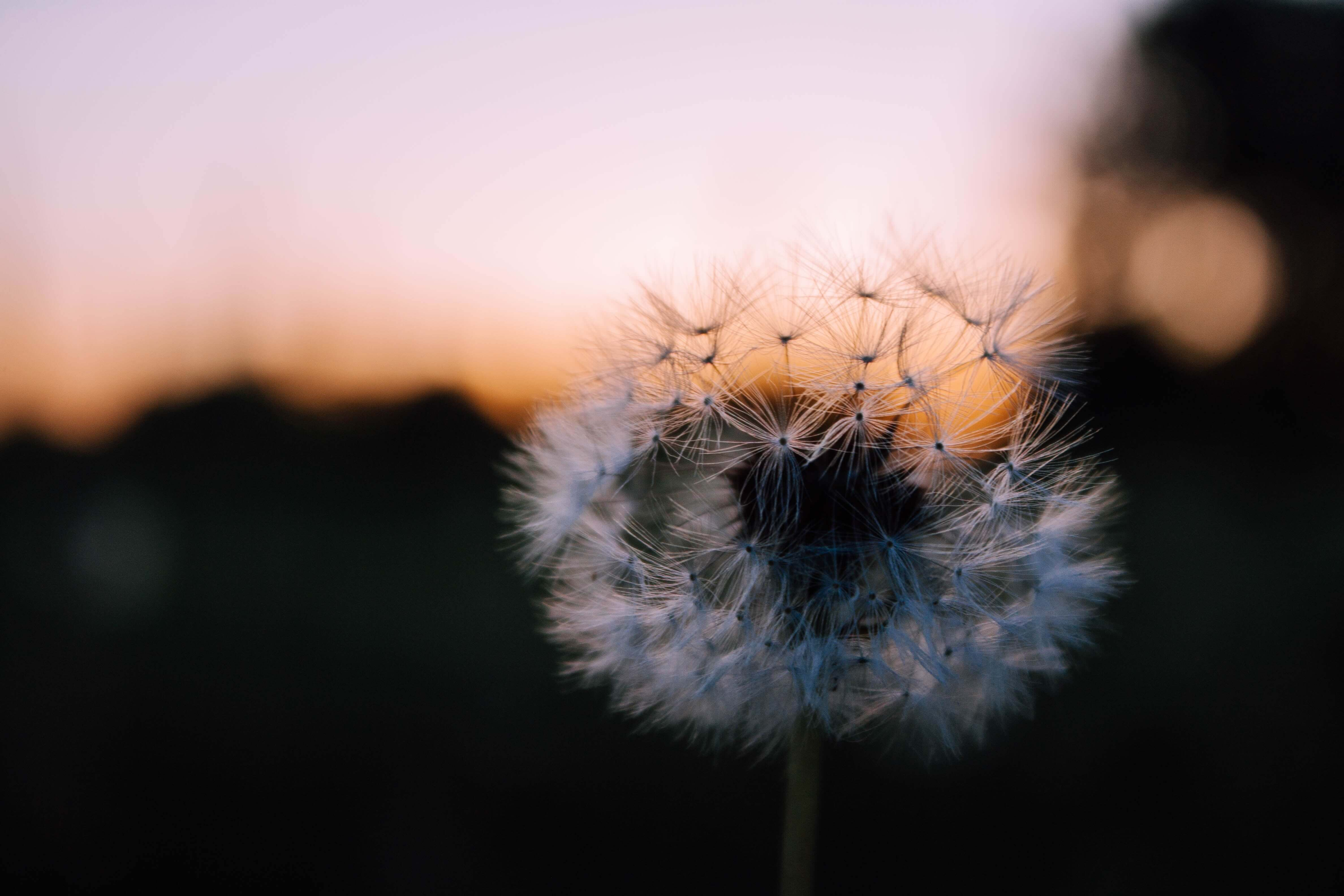 cremation-process-dandelion-at-sunset